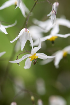 Epimedium-National-Collection-PEPI099-nicola-stocken.jpg