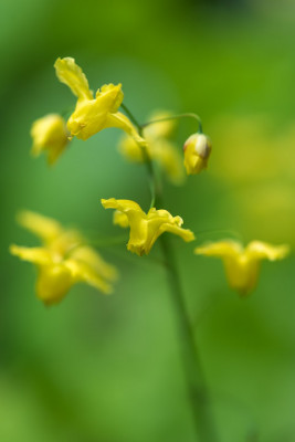 Epimedium-National-Collection-PEPI100-nicola-stocken.jpg