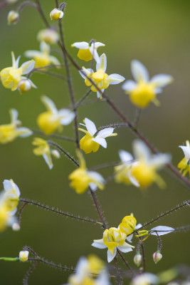 Epimedium-National-Collection-PEPI103-nicola-stocken.jpg