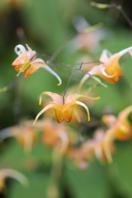 Epimedium-National-Collection-PEPI112-nicola-stocken.jpg