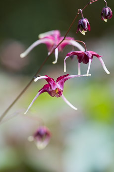 Thumbnail image for Epimedium National Collection