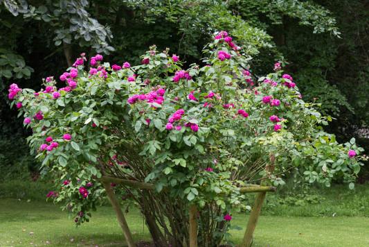 Old-fashioned-roses-GDAW075-nicola-stocken.jpg