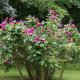 Old-fashioned-roses-GDAW075-nicola-stocken.jpg thumbnail