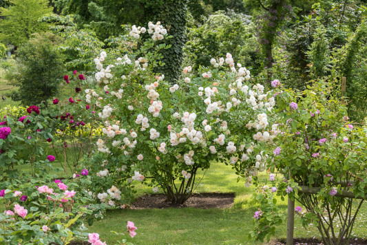 Old-fashioned-roses-GDAW076-nicola-stocken.jpg