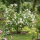 Old-fashioned-roses-GDAW076-nicola-stocken.jpg thumbnail