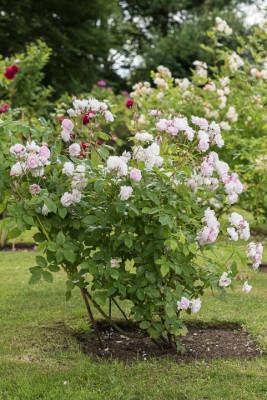 Old-fashioned-roses-GDAW077-nicola-stocken.jpg