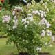 Old-fashioned-roses-GDAW077-nicola-stocken.jpg thumbnail