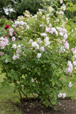 Old-fashioned-roses-GDAW078-nicola-stocken.jpg