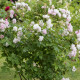 Old-fashioned-roses-GDAW078-nicola-stocken.jpg thumbnail