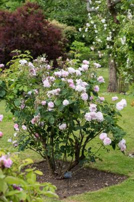 Old-fashioned-roses-GDAW079-nicola-stocken.jpg