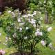 Old-fashioned-roses-GDAW079-nicola-stocken.jpg thumbnail