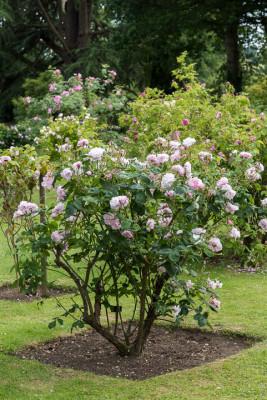 Old-fashioned-roses-GDAW080-nicola-stocken.jpg