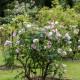 Old-fashioned-roses-GDAW080-nicola-stocken.jpg thumbnail