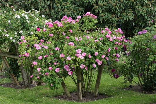 Old-fashioned-roses-GDAW081-nicola-stocken.jpg