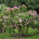 Old-fashioned-roses-GDAW081-nicola-stocken.jpg thumbnail