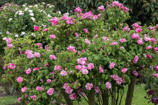 Old-fashioned-roses-GDAW082-nicola-stocken.jpg