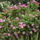 Old-fashioned-roses-GDAW082-nicola-stocken.jpg thumbnail