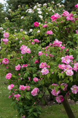 Old-fashioned-roses-GDAW083-nicola-stocken.jpg