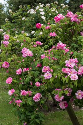 Old-fashioned-roses-GDAW083-nicola-stocken.jpg