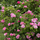 Old-fashioned-roses-GDAW083-nicola-stocken.jpg thumbnail