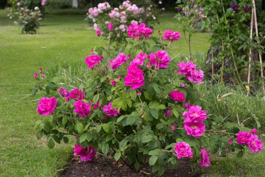 Old-fashioned-roses-GDAW084-nicola-stocken.jpg