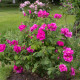 Old-fashioned-roses-GDAW084-nicola-stocken.jpg thumbnail