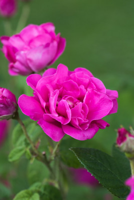 Old-fashioned-roses-GDAW085-nicola-stocken.jpg