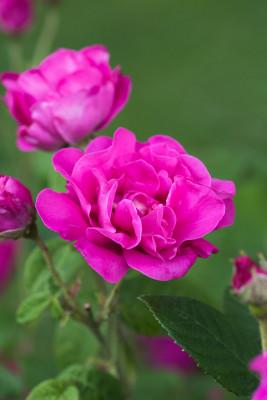 Old-fashioned-roses-GDAW085-nicola-stocken.jpg