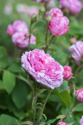 Old-fashioned-roses-GDAW086-nicola-stocken.jpg