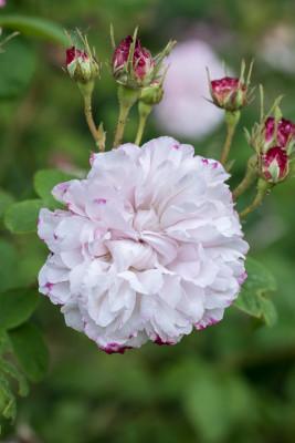 Old-fashioned-roses-GDAW087-nicola-stocken.jpg