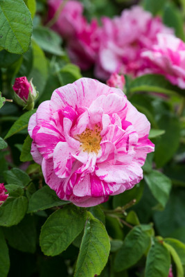 Old-fashioned-roses-GDAW088-nicola-stocken.jpg