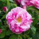 Old-fashioned-roses-GDAW088-nicola-stocken.jpg thumbnail