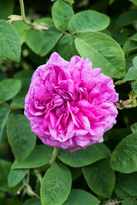 Old-fashioned-roses-GDAW089-nicola-stocken.jpg