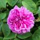 Old-fashioned-roses-GDAW089-nicola-stocken.jpg thumbnail