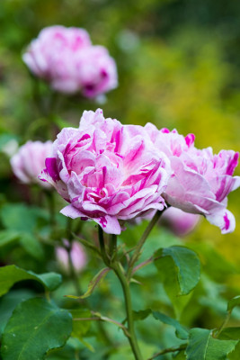 Old-fashioned-roses-GDAW090-nicola-stocken.jpg