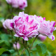 Old-fashioned-roses-GDAW090-nicola-stocken.jpg thumbnail