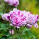 Old-fashioned-roses-GDAW090-nicola-stocken.jpg thumbnail
