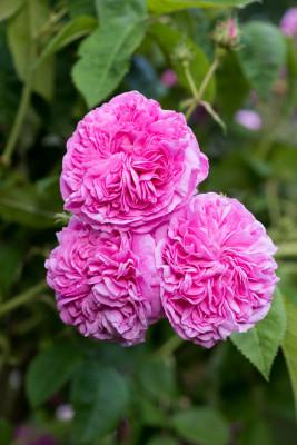 Old-fashioned-roses-GDAW091-nicola-stocken.jpg