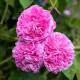 Old-fashioned-roses-GDAW091-nicola-stocken.jpg thumbnail