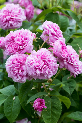 Old-fashioned-roses-GDAW092-nicola-stocken.jpg