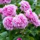 Old-fashioned-roses-GDAW092-nicola-stocken.jpg thumbnail