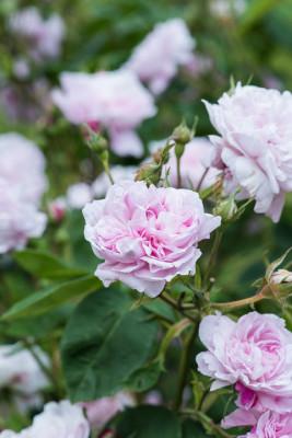 Old-fashioned-roses-GDAW093-nicola-stocken.jpg