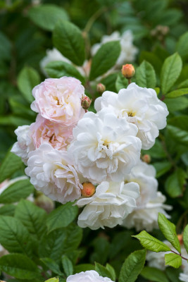 Old-fashioned-roses-GDAW094-nicola-stocken.jpg