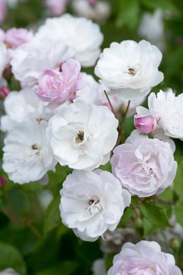 Old-fashioned-roses-GDAW095-nicola-stocken.jpg