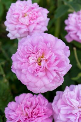 Old-fashioned-roses-GDAW096-nicola-stocken.jpg
