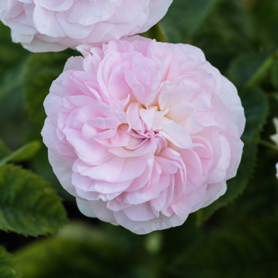 Old-fashioned-roses-GDAW097-nicola-stocken.jpg