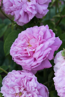 Old-fashioned-roses-GDAW098-nicola-stocken.jpg