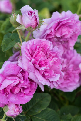 Old-fashioned-roses-GDAW099-nicola-stocken.jpg