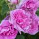 Old-fashioned-roses-GDAW099-nicola-stocken.jpg thumbnail
