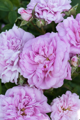 Old-fashioned-roses-GDAW100-nicola-stocken.jpg